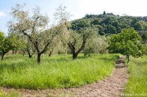 oliveto con collegamento ai sentieri che portano a Montecatini Alto